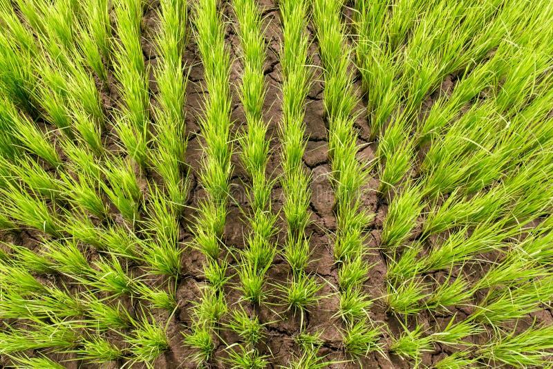 Vue supérieure de jeune de riz forme verte de gisement photo libre de droits