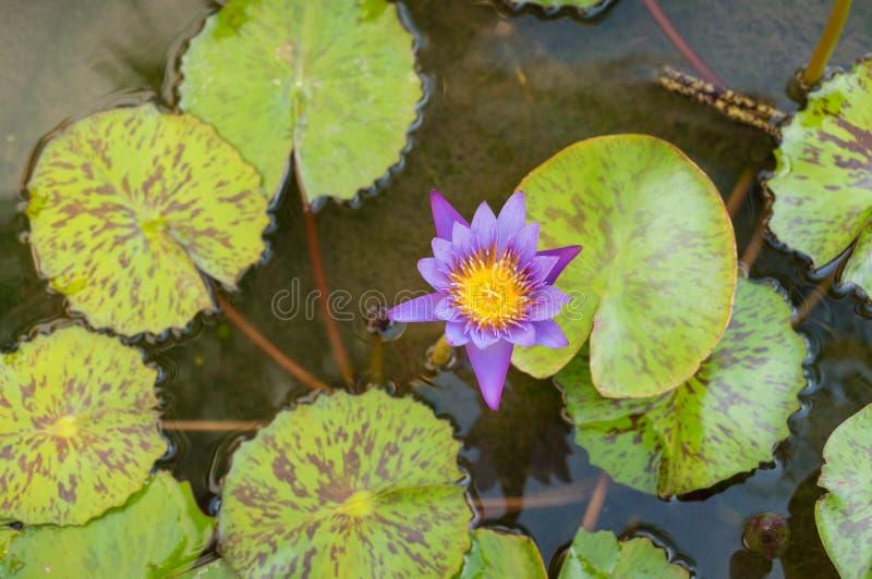 Vue sup?rieure de la fleur de lotus pourpre flottant dans l'?tang photos libres de droits