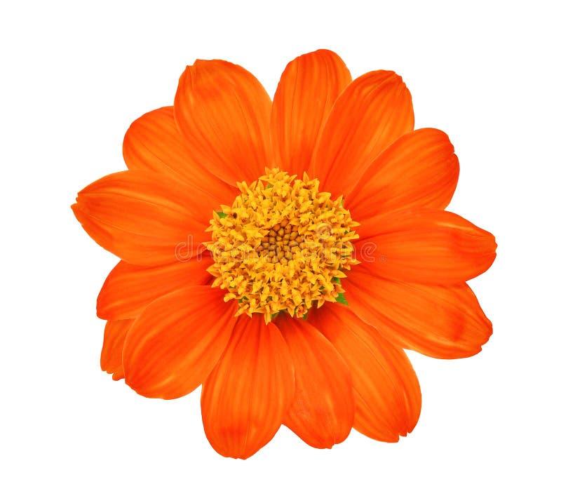 Vue supérieure de la fleur orange simple d'isolement sur le blanc photo stock