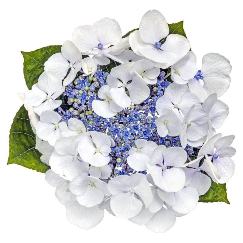Vue supérieure de Lacecap de fleur bleue d'hortensia d'isolement sur le blanc photos libres de droits