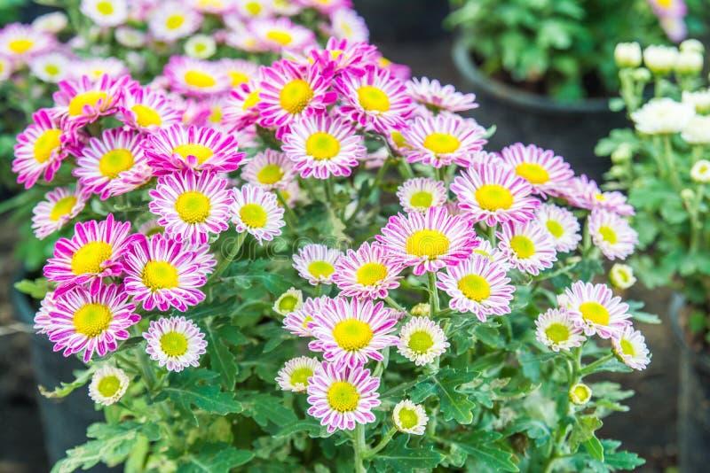 Vue supérieure du flowe de fond de fleur de Mun du fleuriste, rose et blanc photo stock