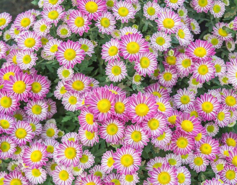 Vue supérieure du flowe de fond de fleur de Mun du fleuriste, rose et blanc image libre de droits