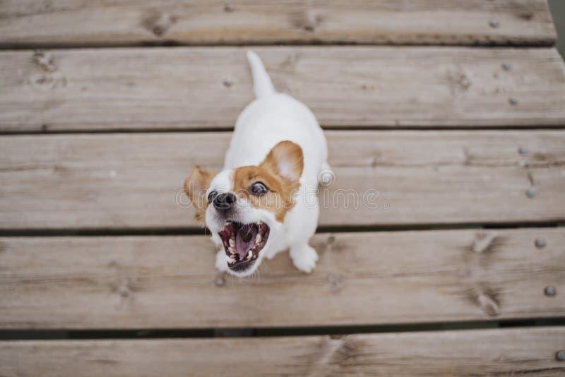 Vue supérieure du petit chien mignon de terrier de Russell de cric se reposant sur un extérieur en bois de pont et mangeant les f images libres de droits