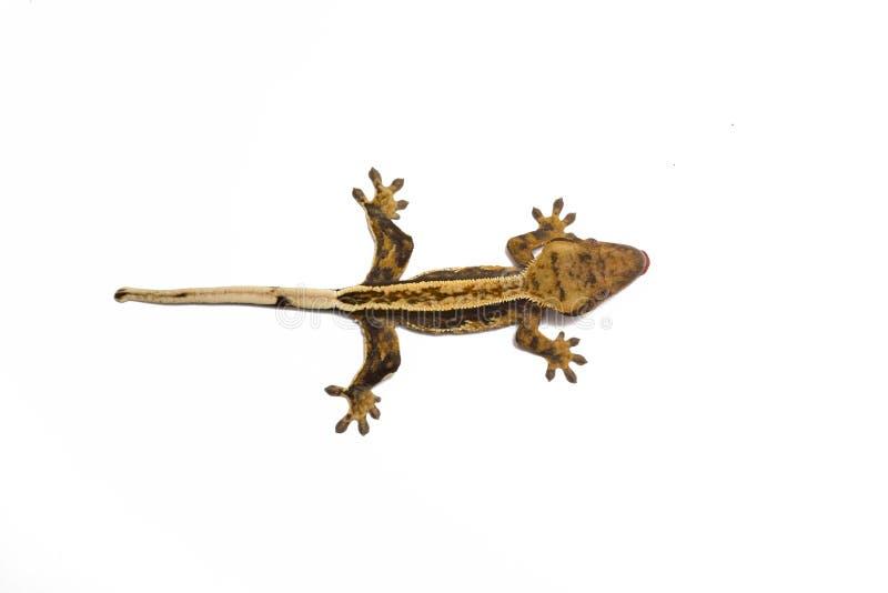 Vue supérieure plissée de gecko D'isolement sur le fond blanc image libre de droits