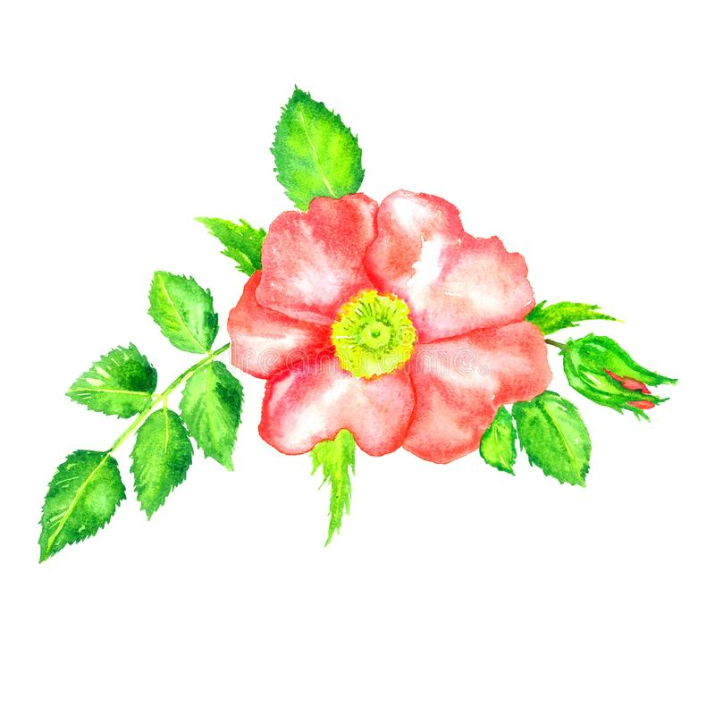 Vue supérieure rose rose sauvage, bourgeon floral et feuilles, d'isolement sur l'aquarelle peinte à la main blanche illustration libre de droits