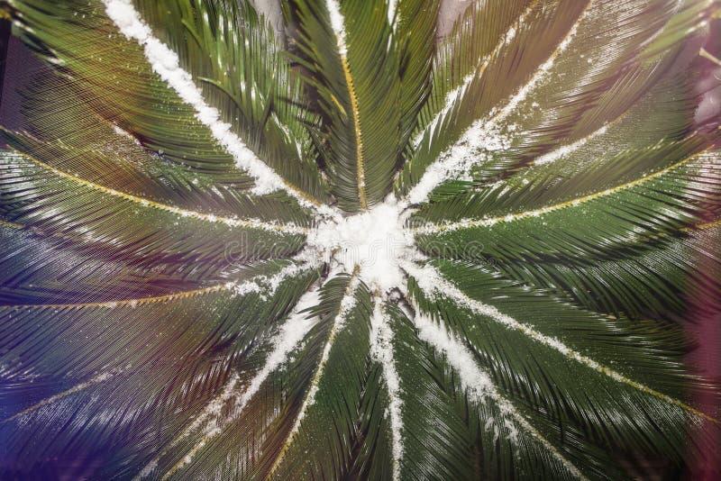 Vue supérieure sur la couronne d'un palmier couvert de neige, de beau fond de fête, de célébration de nouvelle année et de Noël p photographie stock libre de droits