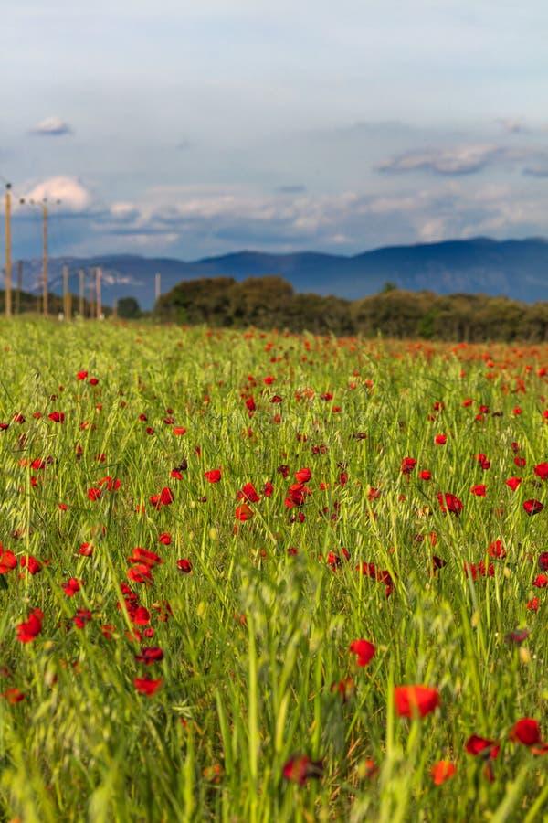 Vue sur le champ rouge de pavots photos libres de droits