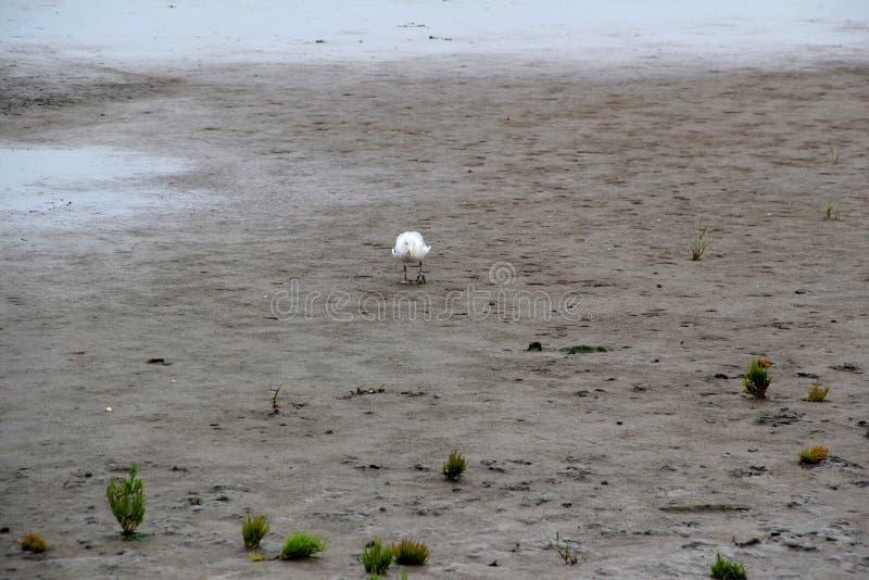 Vue sur le watt avec l'oiseau au juist du nord Allemagne d'île de mer image stock