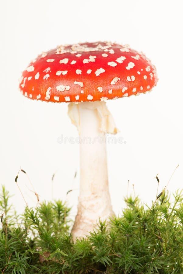 Vue totale d'un champignon rouge et blanc d'agaric de mouche avec de la mousse verte images libres de droits