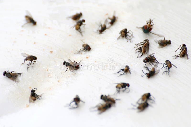 Vuele, mosca de la pila, primer muchos que el bulto de las moscas vuela absolutamente en la tierra blanca, moscas son portadores  foto de archivo libre de regalías