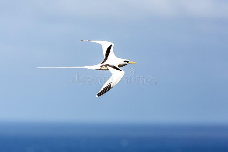 vuelo Amarillo-cargado en cuenta del lepturus del Phaethon de Tropicbird sobre el Océano Pacífico cerca de las islas de las Islas foto de archivo