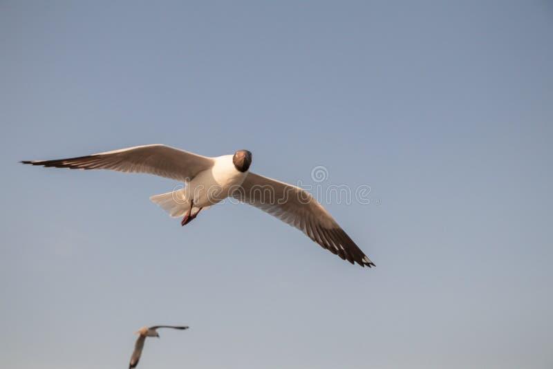 Vuelo ascendente cercano de la gaviota en el fondo del aire y del cielo La gaviota de la libertad amplía las alas en el cielo imagen de archivo