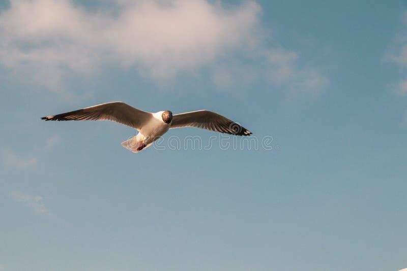 Vuelo ascendente cercano de la gaviota en el fondo del aire y del cielo La gaviota de la libertad amplía las alas en el cielo imagen de archivo libre de regalías