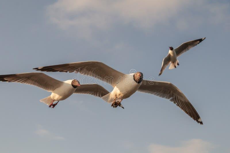 Vuelo ascendente cercano de la gaviota en el fondo del aire y del cielo La gaviota de la libertad amplía las alas en el cielo fotos de archivo libres de regalías