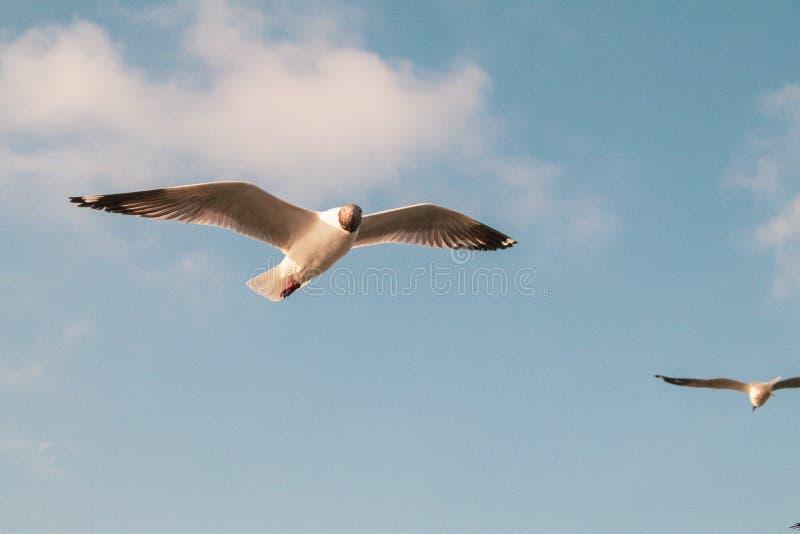 Vuelo ascendente cercano de la gaviota en el fondo del aire y del cielo La gaviota de la libertad amplía las alas en el cielo imágenes de archivo libres de regalías