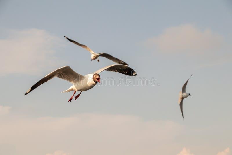 Vuelo ascendente cercano de la gaviota en el fondo del aire y del cielo La gaviota de la libertad amplía las alas en el cielo fotografía de archivo