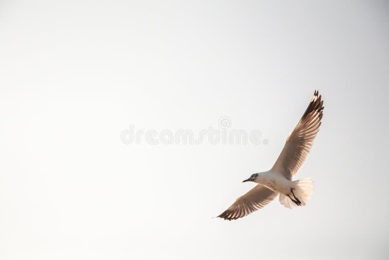 Vuelo ascendente cercano de la gaviota en el fondo del aire y del cielo La gaviota de la libertad amplía las alas en el cielo fotos de archivo
