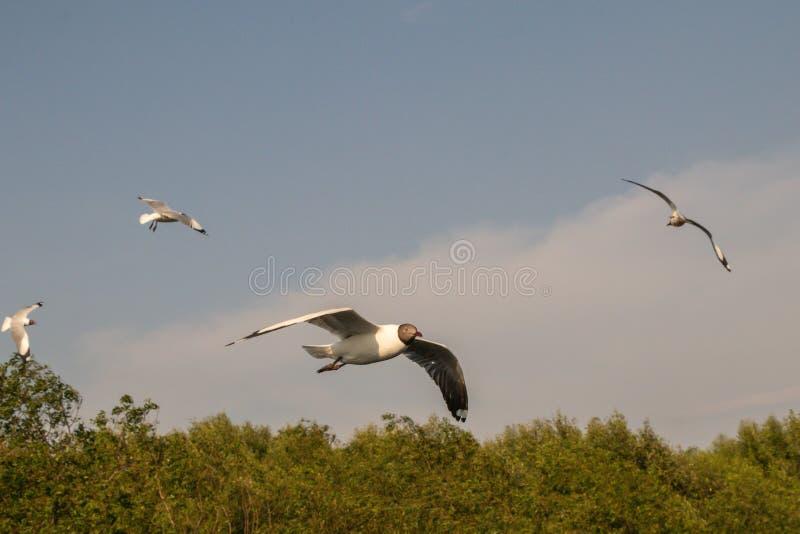 Vuelo ascendente cercano de la gaviota en el fondo del aire y del cielo La gaviota de la libertad ampl?a las alas en el cielo fotografía de archivo