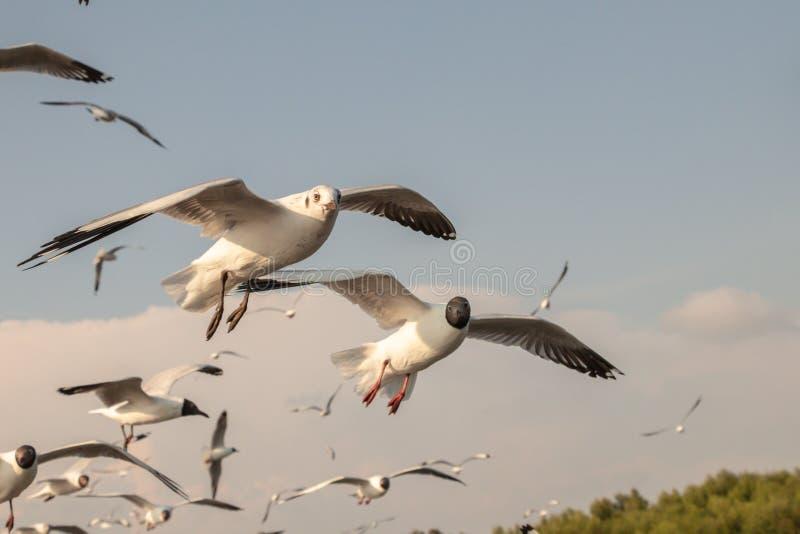 Vuelo ascendente cercano de la gaviota en el fondo del aire y del cielo La gaviota de la libertad ampl?a las alas en el cielo fotos de archivo