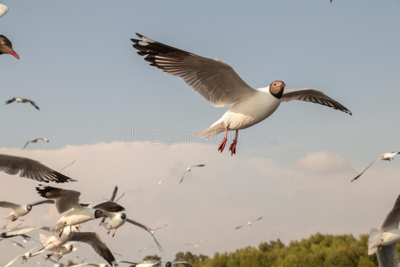 Vuelo ascendente cercano de la gaviota en el fondo del aire y del cielo La gaviota de la libertad ampl?a las alas en el cielo foto de archivo