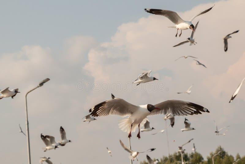 Vuelo ascendente cercano de la gaviota en el fondo del aire y del cielo La gaviota de la libertad ampl?a las alas en el cielo foto de archivo libre de regalías