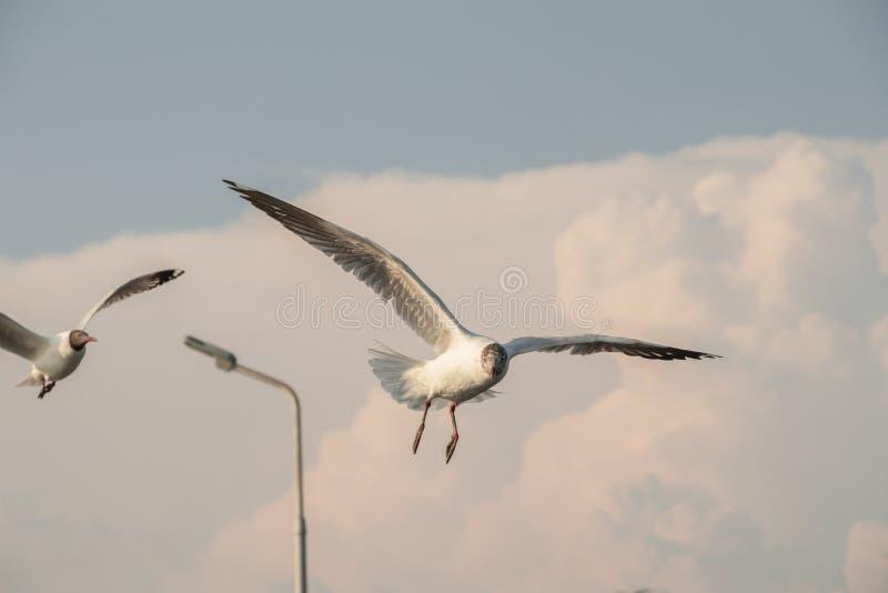 Vuelo ascendente cercano de la gaviota en el fondo del aire y del cielo La gaviota de la libertad ampl?a las alas en el cielo fotos de archivo libres de regalías