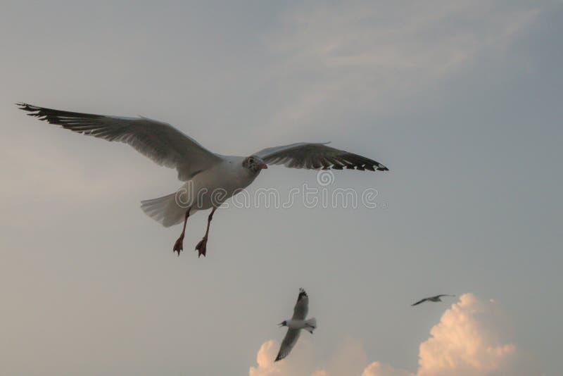 Vuelo ascendente cercano de la gaviota en el fondo del aire y del cielo La gaviota de la libertad ampl?a las alas en el cielo fotografía de archivo libre de regalías