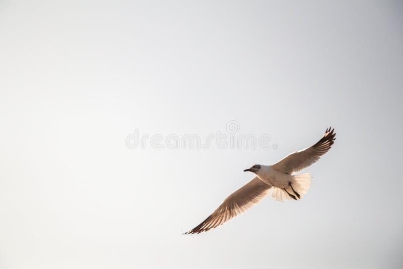 Vuelo ascendente cercano de la gaviota en el fondo del aire y del cielo La gaviota de la libertad ampl?a las alas en el cielo imagen de archivo libre de regalías