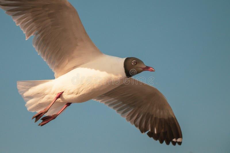 Vuelo ascendente cercano de la gaviota en el fondo del aire y del cielo La gaviota de la libertad ampl?a las alas en el cielo imágenes de archivo libres de regalías