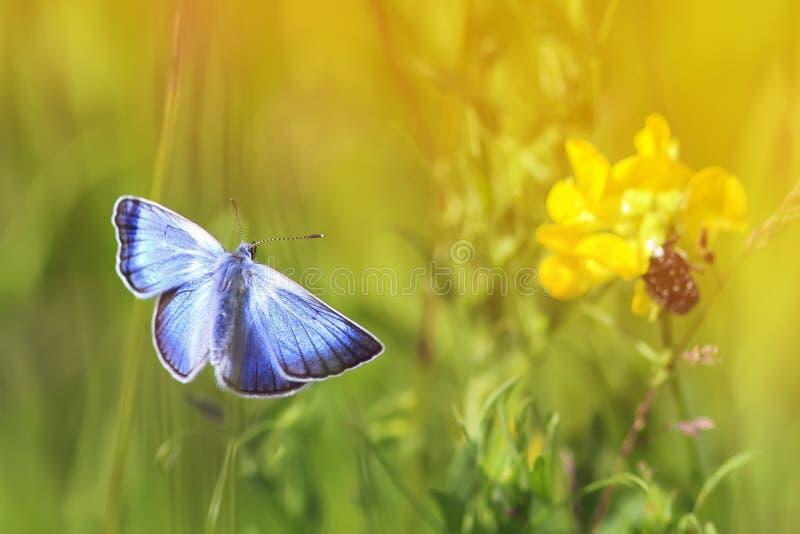Vuelo azul de la mariposa hacia las flores y el sol en un prado del verano fotos de archivo