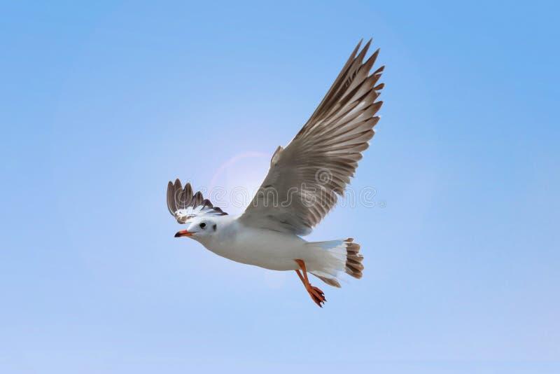 Vuelo blanco de la gaviota en fondo del cielo azul Concepto de la libertad imagenes de archivo