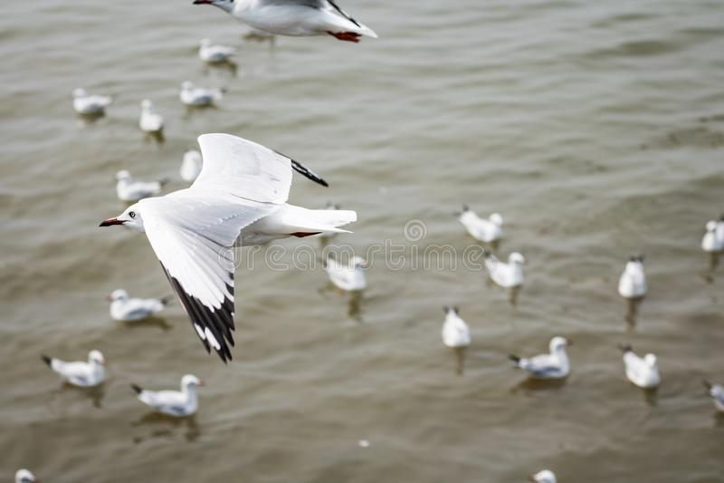 Vuelo blanco de la gaviota en fondo del mar fotografía de archivo libre de regalías