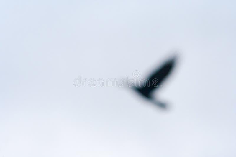Vuelo borroso del cuervo en el aire P?jaro de Bokeh fotos de archivo libres de regalías