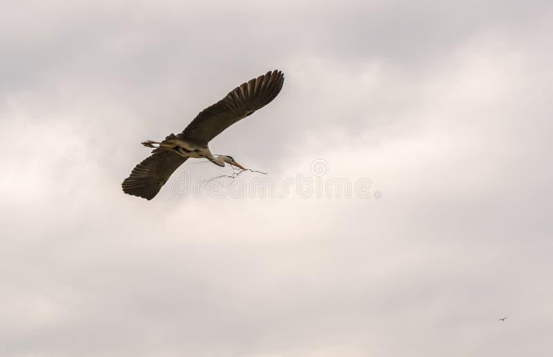 Vuelo cinerea del Ardea gris de la garza en el cielo nublado fotos de archivo