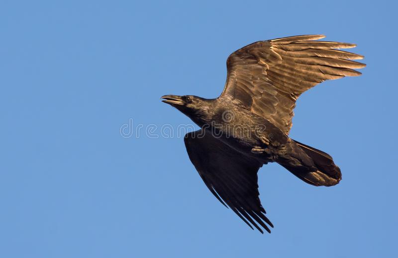 Vuelo común del cuervo en cielo azul con las alas y la cola estiradas en la puesta del sol fotografía de archivo