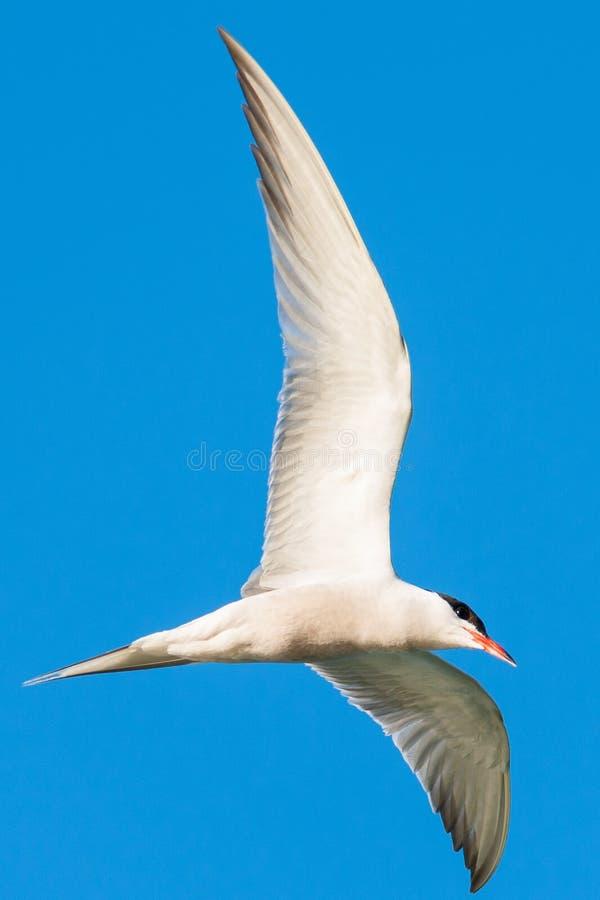 Vuelo com?n de la golondrina de mar en el cielo azul foto de archivo