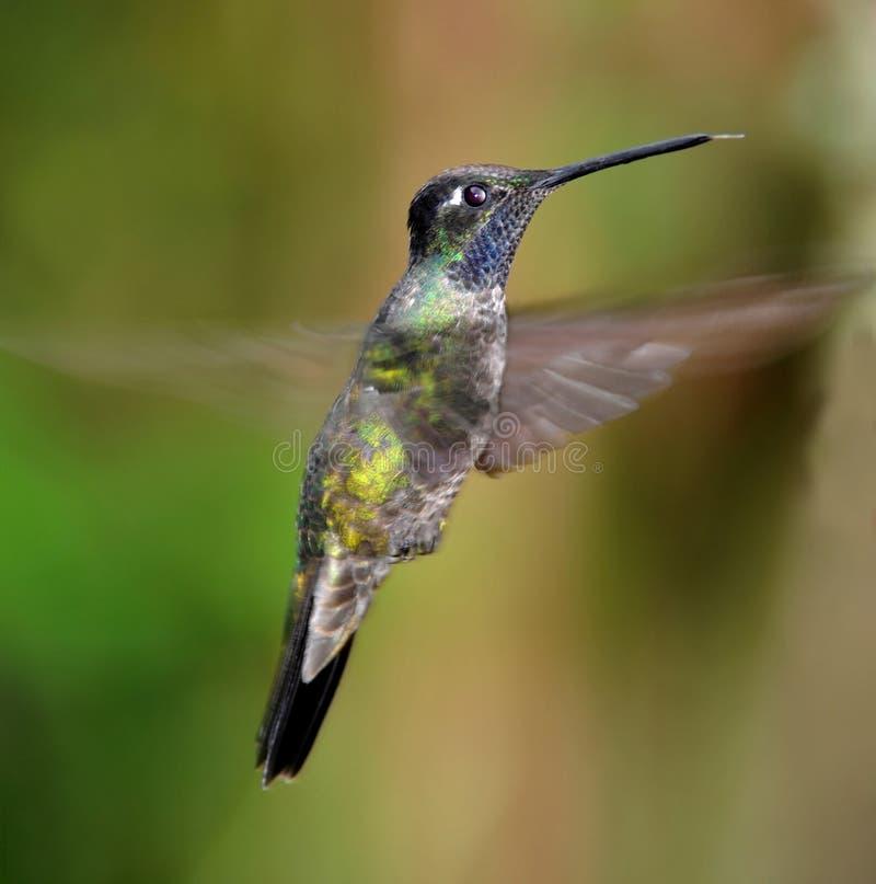 Vuelo Costa Rica del colibrí de la gema de la montaña imagen de archivo