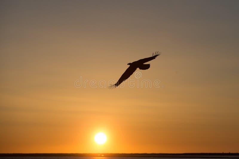 Vuelo de Eagle calvo en la puesta del sol, Homer Alaska fotografía de archivo