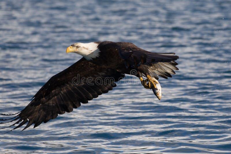Download Vuelo De Eagle Calvo, Homer Alaska Foto de archivo - Imagen de retrato, falconry: 42442708