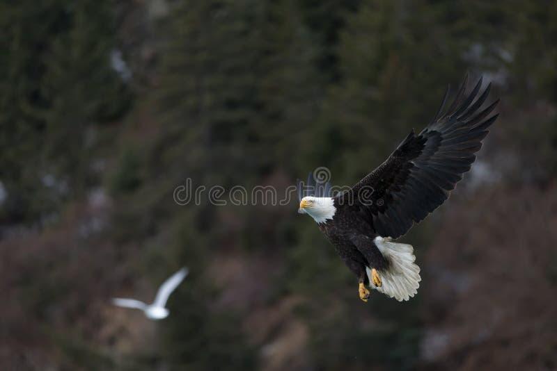 Download Vuelo De Eagle Calvo, Homer Alaska Imagen de archivo - Imagen de cazador, rapaz: 42442779