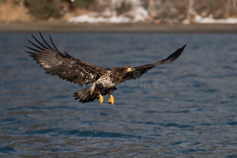 Download Vuelo De Eagle Calvo, Homer Alaska Foto de archivo - Imagen de presa, libertad: 42442800