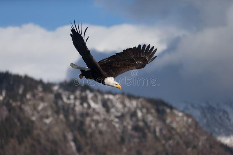Download Vuelo De Eagle Calvo, Homer Alaska Imagen de archivo - Imagen de presa, naturalizado: 42442829