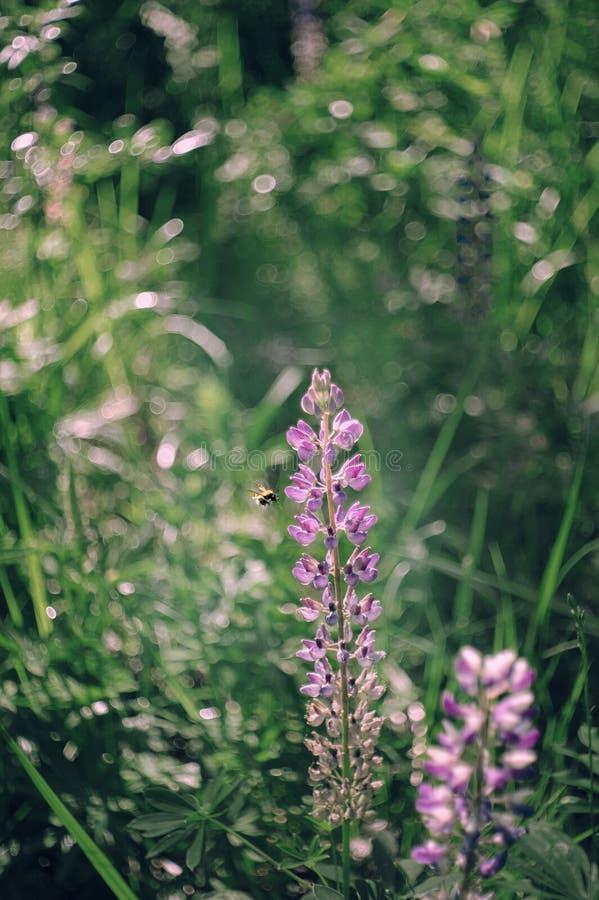 Vuelo de la abeja a florecer de lupine Un campo de altramuces con las flores rosadas Mirada retra Foco selectivo wallpaper imagen de archivo