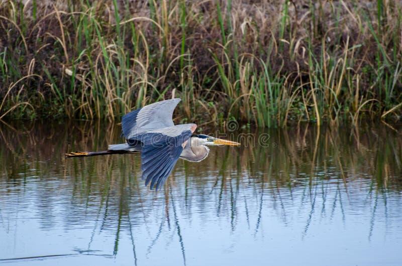 Vuelo de la garza de gran azul, Savannah National Wildlife Refuge fotografía de archivo libre de regalías