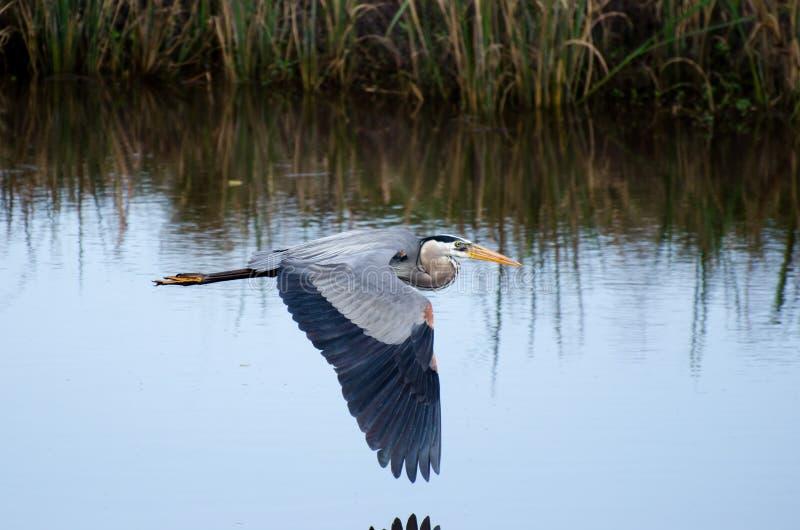 Vuelo de la garza de gran azul, Savannah National Wildlife Refuge imagen de archivo libre de regalías