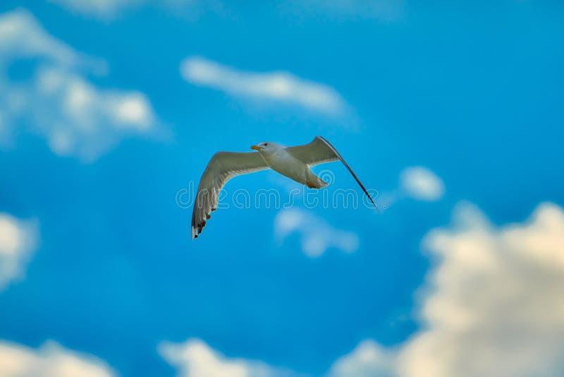 Vuelo de la gaviota en cielo azul Gaviota en nubes del cielo azul Vuelo de la gaviota en cielo fotografía de archivo