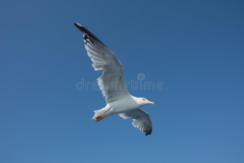 Vuelo de la gaviota en el cielo fotografía de archivo