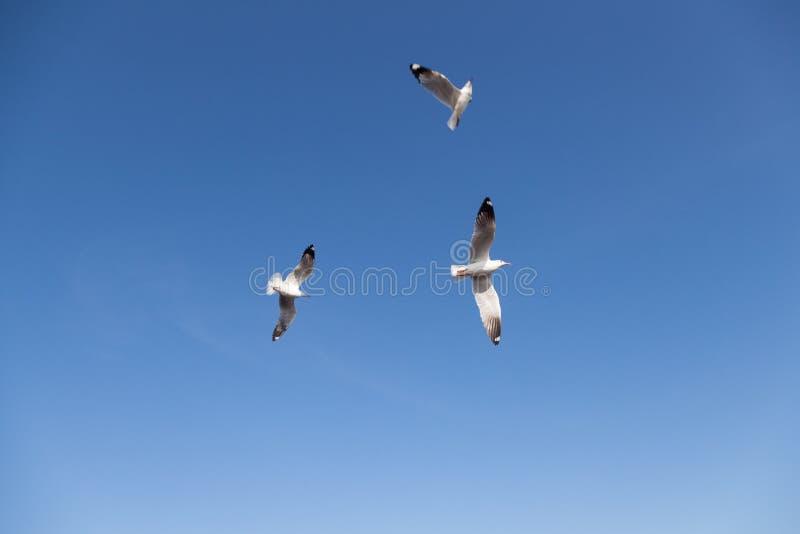 Vuelo de la gaviota en el cielo imágenes de archivo libres de regalías