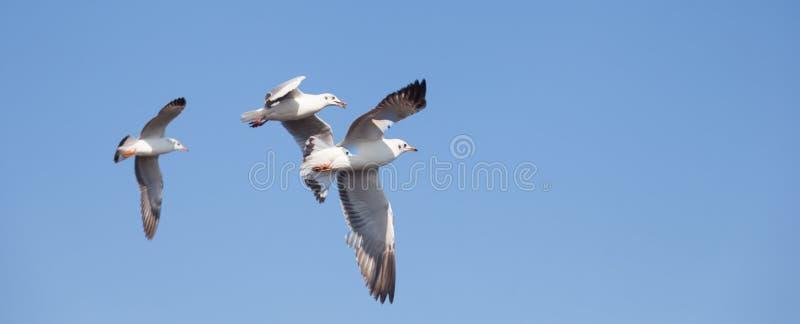Vuelo de la gaviota en el cielo fotos de archivo libres de regalías