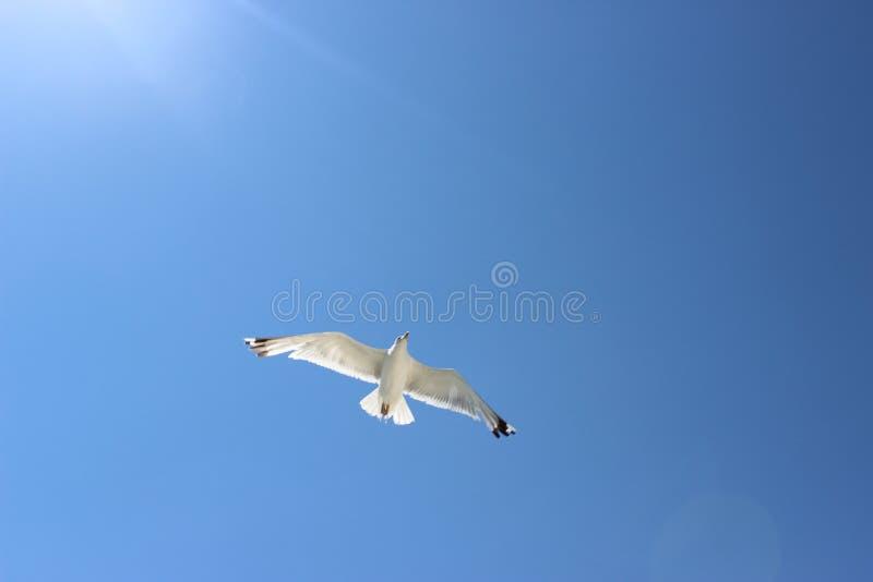 Vuelo de la gaviota en el cielo imagen de archivo
